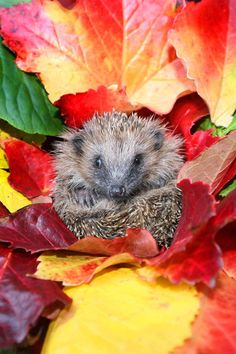 This hedgehog clearly has a talent for home decoration, making a nest among brightly coloured autumn leaves.