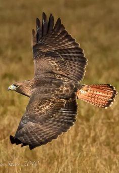 Red Tailed Hawk. Photo by Mac-Wiz