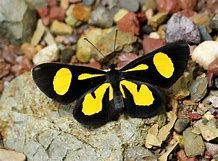 Image result for haemactis sanguinalis caterpillar