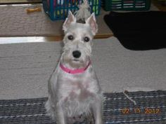 SUGAR is an adoptable Schnauzer Dog in Livonia, MI. COME SEE ME AT THE DETROIT DOG SHOW AT COBO HALL MARCH 3 AND 4!!! SUGAR is a female, spayed, approx 4 yr old white mini schnauzer. She is heartworm ...