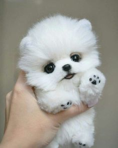 Pomeranian puppy for sale - .- Pommersche Welpen zu verkaufen – Pomeranian puppy for sale – - Baby Animals Super Cute, Cute Baby Dogs, Cute Little Puppies, Cute Dogs And Puppies, Cute Little Animals, Puppies Puppies, Teacup Puppies, Retriever Puppies, Puppies Stuff