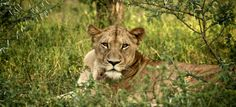 """Renowned for its majesty and nicknamed """"the king of the jungle,"""" the lion possesses both beauty and strength."""