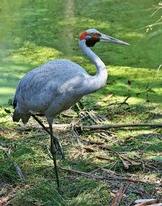 Brolga or Australian Crane (Grus rubicunda)