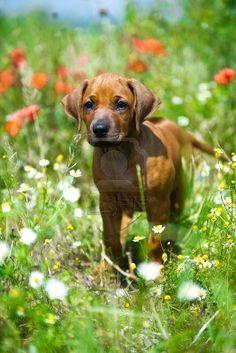 ..Cute rhodesian ridgeback puppy in a field..