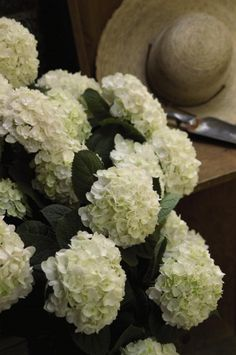 This is a must have for the white garden, a hydrangea that flowers on both old and new wood for a display from June to October, staggering. Flowers start white and then fade to a blush pink. Hortensia Hydrangea, Hydrangea Macrophylla, Hydrangeas, Blushing Bride Hydrangea, Endless Summer Hydrangea, White Gardens, Shade Plants, Summer Colors, Beautiful Flowers
