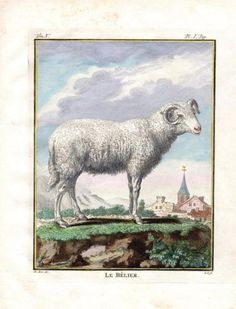 """""""  Ram ,le Belier """" ,1766. Copper engraving, Antique Hand Colored Print, Buffon Natural History. Measures 10 x 8 inches. 27 x 22 cm."""