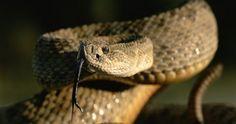 Galería | Serpientes de cascabel una de las más venenosas del mundo,sólo habitan en el continente Americano en zonas desérticas,se han reconocido 29 especies.