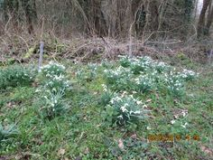 Snowdrops along the trail