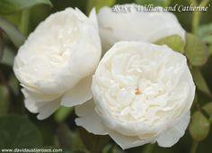 Anche per gli italiani la rosa di William e Kate | Fiori e Foglie