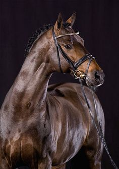 The Sport Horse Show and Breed Database - Carabas