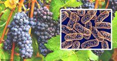 Llevar una alimentación saludable es fundamental para una buena función mitocondrial saludable, se sabe que el PQQ y la berberina proporcionan potentes beneficios mitocondriales. https://articulos.mercola.com/sitios/articulos/archivo/2018/04/15/berberina-pqq-y-otros-potenciadores-mitocondriales.aspx?utm_source=espanl&utm_medium=email&utm_content=art1&utm_campaign=20180415&et_cid=DM200849&et_rid=274342381