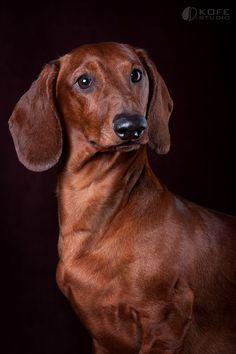 The Dachshund by KOFEstudio.deviantart.com on @deviantART