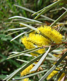 Mulga, True Mulga (Acacia aneura) A shrub or small-tree native to outback areas such as the Western Australian mulga shrublands.