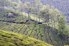 'The Land of Chai' -  High up in the Tea [Camellia sinensis, Family: Theaceae] Plantations, Munnar, Kerala, India