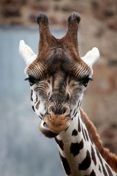 Rothschild giraffe at Chester Zoo, Chester, UK. Taken October 2010.