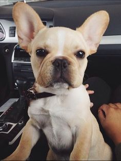 French Bulldog Puppy Cute Puppies, Cute Dogs, Dogs And Puppies, Doggies, Corgi Puppies, Terrier Puppies, Bull Terriers, Boston Terrier, Animals And Pets