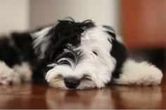 I want a sheepadoodle puppy!