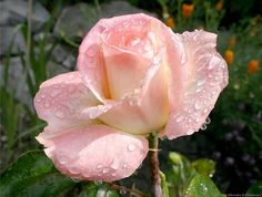 Princess Diana Rose...
