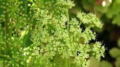 How to Grow Ashitaba aka Tomorrow Leaf