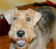 """Fiercely loyal to a fault, Airedale Terriers are strong, working class dogs bred by working class people. They """"bring their lunch pail"""" to work and do a """"yeoman-like"""" job. They would forecheck with extreme prejudice and grind you-know-what down.    Give Arron Asham some additional time on IR to recuperate, and just let an Airedale enforce the ice."""