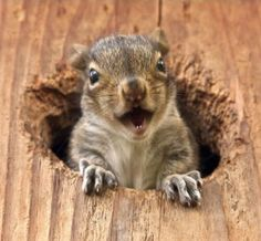 Peekaboo Squirrel! Animals And Pets, Baby Animals, Funny Animals, Cute Animals, Wild Animals, Cute Squirrel, Baby Squirrel, Squirrels, Pets