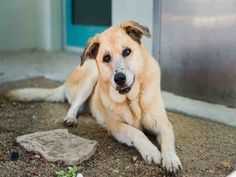 "CALIFORNIA - 10/3/16 - ""ROXY"" - SENIOR - BEAUTIFUL DOG! -A1648679 - AVAILABLE AT LOS ANGELES WEST VALLEY SHELTER."