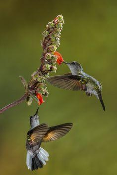 Hummingbirds by Maurício Soares on Fivehundredpx / colour my world Hummingbird Photos, Hummingbird Moth, All Birds, Little Birds, Mundo Animal, Bird Watching, Beautiful Birds, Bird Houses, Animal Kingdom