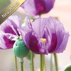 Mohn 'Dark Lilac'