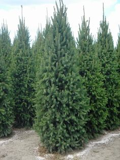 Cupressina spruce - another feature evergreen option for front of house bed Fence Trees, Privacy Trees, Privacy Plants, Privacy Fence Landscaping, Backyard Fences, Backyard Landscaping, Arborvitae Tree, Picea Abies, Norway Spruce