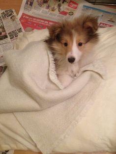 Snuggly Sheltie puppy