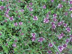 Zioła-Macierzanka Thymus Serpyllum, Healing Herbs, Begonia, Mother Nature, Natural Remedies, Spices, Plants, Beauty, Gardening