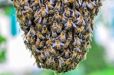 Quand la colonie se décuple ! Bee Swarm, Bee Keeping, Herbs, Population, Moment, Honey, Animaux, Lawn And Garden, Honey Bee Swarm