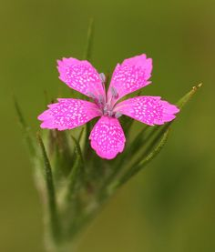 ~~Maiden Pink ~ dianthus deltoides by DrPhotoMoto~~