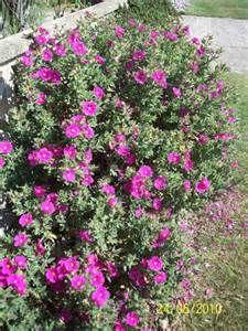 Cistus 'Brilliancy' ('Sunset') - Evergreen shrub, 50cm in height, 1m wide, green/grey/silver foliage yr round, pink & yellow flowers in summer. full sun.