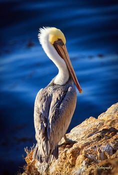 Lone pelican stands vigilant at Point Lobos State Reserve, Big Sur, California.