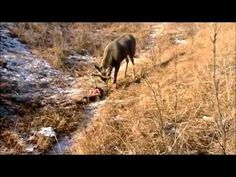 Deer Hunting Footage: Amazing..!!!  This is an amazing rescue and could be dangerous too. It is a wonder how such things happen. Two bucks frequently become antler locked but there is more to this because there is twine involved in the lock. Had these men not discovered it he surely would have died in the entanglement.