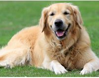 Coconut Oil for Dogs - Great for Skin, Fur and Digestion - Health Support