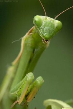 """""""Green"""" Macro Insect Picture"""