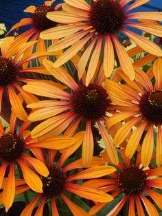 """Echinacea - """"Flame Thrower"""" Type: Perennials Height: Tall 3 (Plant 2-3 apart) Bloom Time: Early Summer to Early Fall  Sun-Shade: Full Sun to Half Sun/ Half Shade  Zones: 3-9  Find Your Zone Soil Condition: Normal, Acidic, Clay  Flower Color / Accent: Orange / Yellow"""