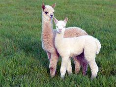 Alpacas...cute, cuddly and super soft wool,,,