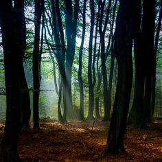 "Early morning moods in the ""forest of the dancing trees"", the Speulderbos, in the Netherlands. National park ""De Hoge Veluwe"", bos van de dansende bomen."