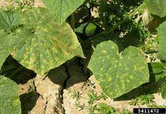 Pseudoperonospora cubensis (mana castravetelui)