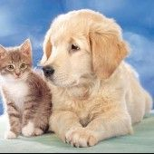 Cute Kitten with Golden Retriever Puppy Thing 1, Puppy Play, Kittens And Puppies, Kittens Cutest, Dolphins, Dog Cat, Kitty, Cheesecake, Cats