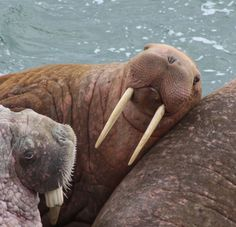 walrus on Round Island, Alaska