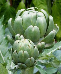 Imperial Star Artichoke - Artichoke - Fruits & Vegetables - Garden Seeds