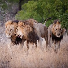"""Anybody remember the famous Mapogo Gang of marauding male lions in the Sani Sands a number of years back? The Mapogo were extremely effective at…"""