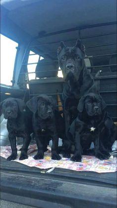 Cane corso a car full of badness! Cane Corso Italian Mastiff, Cane Corso Dog, Cane Corso Puppies, Big Dogs, I Love Dogs, Cute Dogs, Dogs And Puppies, Doggies, Beautiful Dogs