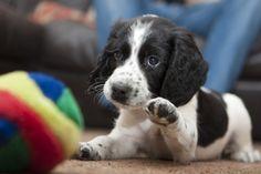 So adorable! Baby Puppies, Cute Puppies, Cute Dogs, Dogs And Puppies, Corgi Puppies, Doggies, Springer Spaniel Puppies, English Springer Spaniel, Cocker Spaniel