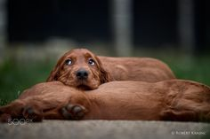 La vita e bella! - Comfy Irish Setter puppy