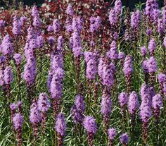 """Liatris spicata 'Trailblazer' - Showy spikes of purple blooms on compact, 24"""" tall plants. Butterflies love the blooms!"""